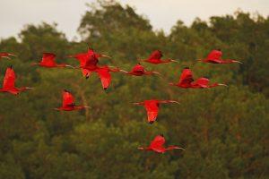 ibis scarlet IMG_6236