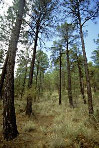 Pine/Oak woodlands Arizona