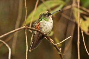 Blue-capped Hummingbird