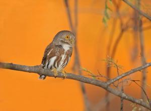 Colima Pygmy Owl