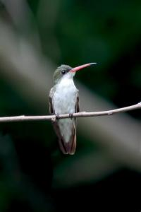 Green-fronted Hummingbird