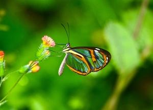 Glasswing Butterfly Sp.