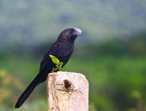 Smooth-billed Ani