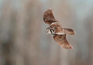 Northern Hawk Owl 1