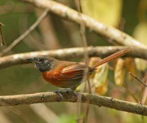 Rufous-breasted Spinetail