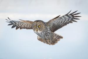 Great-Gray-Owl-2-Larry-Vaughn