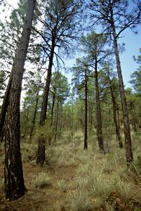 Pine/Oak woodlands Arizona