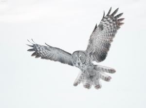 Great Gray Owl 1
