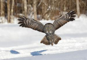 Great Gray Owl 2