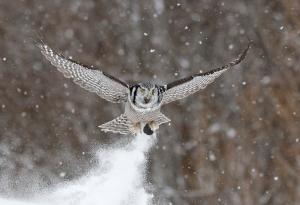 Northern Hawk Owl 2